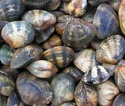 Le Panier à Poissons - Palourde Moyenne Vivante - Lot De 1kg