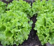 La Boite à Herbes - Lot De 4 Salade Batavia Verte Bio