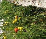EARL Langevine - Tomate Ronde Paola 4kg