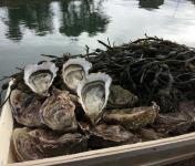 Les Huîtres Chaumard - Huîtres de Paimpol N°3 - bourriche de 36 pièces (3 douzaines)