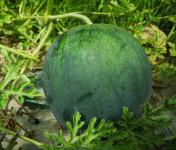 La Boite à Herbes - Mini Pastèque - 1,3kg