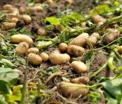 "EARL Langevine - Pomme De Terre Nouvelle ""Gourmandinne"" - 4 kg"