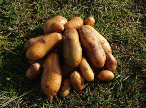 La Ferme Boréale - Pommes De Terre Belle De Fontenay Calibre 28-35 - 10kg