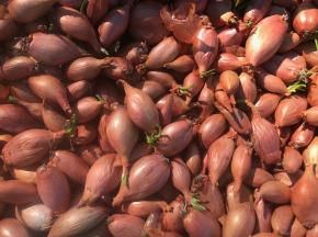La Ferme du Polder Saint-Michel - Echalote Plantation Ou Consommation Rapide 1kg