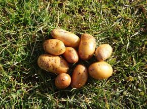 La Ferme Boréale - Pommes De Terre Belle De Fontenay Calibre Grenaille - 5kg