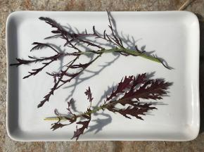 Le Jardin des Antipodes - Mizuna Rouge Frais Bio