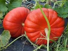 Au bon Jardinet - Potiron Rouge D Estampes X1kg