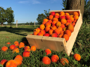 Valentin Grain - Fruits et légumes Conversion Bio - Abricots  - 1kg
