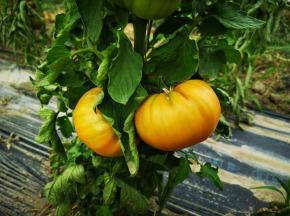 La Boite à Herbes - Tomate Ananas Biologique