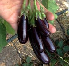 Le Jardin des Gallines - Mini-aubergines Bio