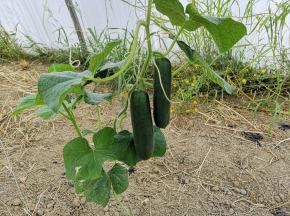La Boite à Herbes - Concombre Noa Bio - 2 Pièces