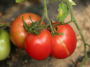 Le Jardin des Gallines - Tomates Rondes Classiques