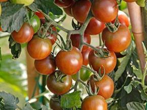 Julien Bouche - Maraîcher Bio - Tomates Cerises Bio
