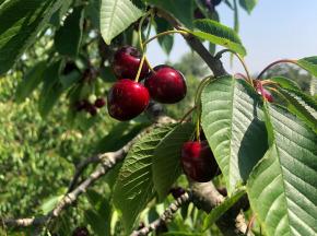 Valentin Grain - Fruits et légumes Conversion Bio - Cerises - 2kg - Conversion Biologique