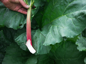 Maison Argentain - Rhubarbe - 1kg