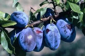 Le Jardin des Gallines - Confiture De Prunes Bleues