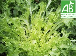 Mon Petit Producteur - Salade Chicoree Frisée Matari