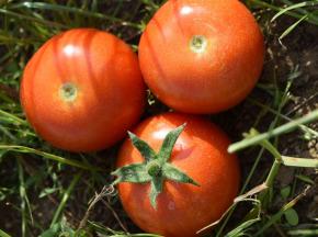 Julien Bouche - Maraîcher Bio - Tomates Rondes Paola