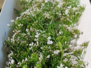 La Boite à Herbes - Fleur De Coriandre - Barquette 20g