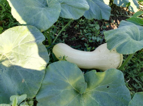 Cocotte et Potiron - Butternut Bio