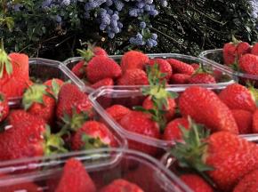 Valentin Grain - Fruits et légumes Conversion Bio - Fraises - 500g - Conversion Biologique