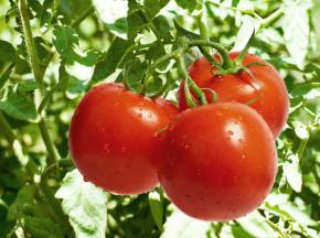 Au bon Jardinet - Tomates Paola Exquises