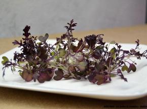Les Jardins de Champlecy - Micro-pousses De Moutarde Rouge - 50g