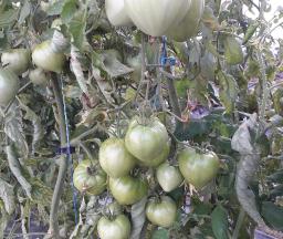 Le Jardin des Gallines - Tomates Vertes