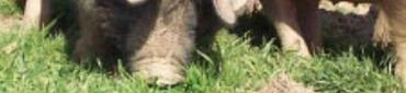 Cochon Cul Noir Limousin