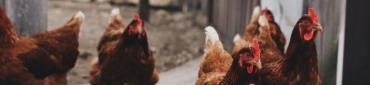 Poulet fermier en direct de nos éleveurs