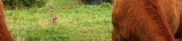 Bœufs Limousin