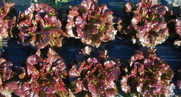 La Boite à Herbes - Lot De 2 Feuille De Chène Rouge Bio