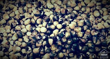 Thaëron - Bigorneaux - Barquette de 500 g