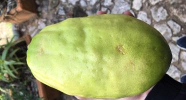 Le Jardin des Antipodes - Cédrat Lisse Ou Rugueux Bio (Citrus medica)