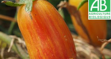 Mon Petit Producteur - Tomate Ancienne Bio Flame Bush [vendu Par 500g]