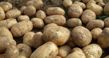 La Boite à Herbes - Pomme De Terre Adora Bio - 1kg