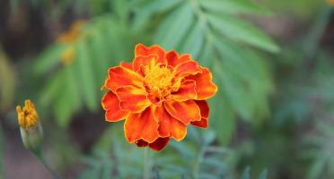 Les Jardins du Mas de Greil - Tagete, Fleurs fraîches barquette