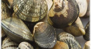 Camargue Coquillages - Palourdes Blanches De Camargue - Pêche Artisanale 500g