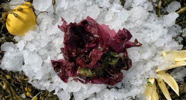 Thaëron - Dulse -  Barquette de 1 kg