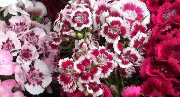 Les Jardins du Mas de Greil - Oeillets Poête bouquet frais