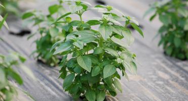 La Boite à Herbes - Basilic Frais - Sachet 100g