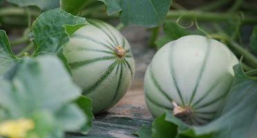 La Boite à Herbes - Melon Charentais - 1 Pièce
