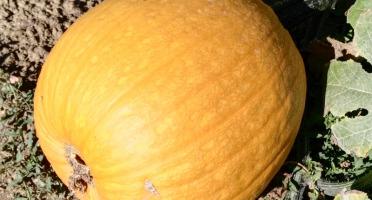 Cocotte et Potiron - Grande Courge D'halloween Jack O'lantern