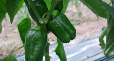 La Boite à Herbes - Poivrons Verts - 1kg