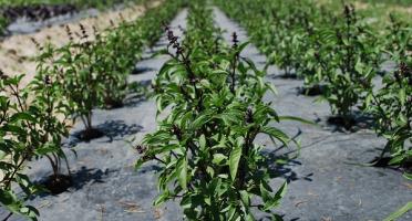 La Boite à Herbes - Basilic Thaï - 100g