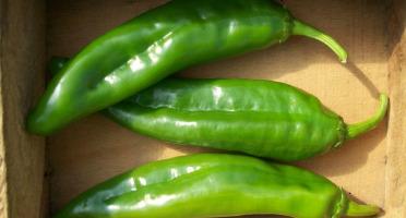 HERBA HUMANA - Piment frais Anaheim Chili