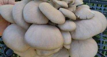 Les Champis du Lattay - Pleurote Grise - 500g