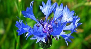 Les Jardins du Mas de Greil - Bleuet, Fleur Fraîche
