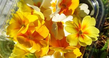 Les Jardins du Mas de Greil - Primevères Blanches Et Jaunes, Fleurs Fraîches