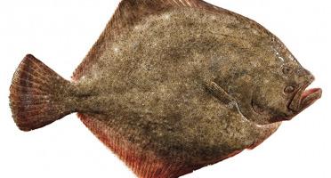 Qwehli - Pavés de Turbot - 4 pavés sur peau avec arêtes